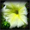 Natural Wonder (dimaruss34) Tags: newyork brooklyn dmitriyfomenko image flower trumpet