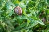 Snail on Milk Thistle (tinlight7) Tags: snail thistle tarsus turkey taxonomy:kingdom=animalia animalia taxonomy:phylum=mollusca mollusca taxonomy:class=gastropoda gastropoda taxonomy:subclass=heterobranchia heterobranchia taxonomy:infraclass=pulmonata pulmonata taxonomy:order=stylommatophora stylommatophora taxonomy:suborder=sigmurethra sigmurethra taxonomy:superfamily=helicoidea helicoidea taxonomy:family=helicidae helicidae taxonomy:genus=eobania eobania taxonomy:species=vermiculata taxonomy:binomial=eobaniavermiculata eobaniavermiculata chocolatebandsnail escargotmourguéta mourguette taxonomy:common=chocolatebandsnail taxonomy:common=escargotmourguéta taxonomy:common=mourguette inaturalist:observation=10638675