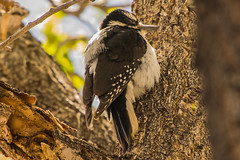 Home Visitor - Hairy Woodpecker (phicks172) Tags: homevisitorhairywoodpecker dsc2873edited1 nature birds hairywoodpecker unitedstates newmexico socorro