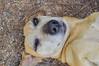 Miradas (Tato Avila) Tags: colombia colores cálido animal retrato perro dog hocico bigotes boyacá vida villadeleyva pozosazules