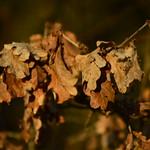 Herbstlaub Eiche April thumbnail