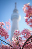 SKYTREE|晴空塔 (里卡豆) Tags: sumidaku tōkyōto 日本 jp olympus penf 25mm f12 pro olympus25mmf12pro 關東 kanto 晴空塔 天空樹 skytree city