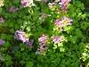 Lerchensporn Blütenteppich (Jörg Paul Kaspari) Tags: trierfeyen corydalis solida corydalissolida lerchensporn blüte flower wildflower wildblume gefingerter