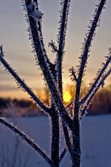 Frosted Sunrise (Bob's Digital Eye) Tags: april2018 bobsdigitaleye canon canonefs1855mmf3556isll frost h2o hoarefrost laquintaessenza snow snowscene spring sun sunrise t3i yellow flickr flicker backlit tree