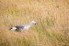 Munch Munch (jeff_a_goldberg) Tags: chloephagapicta bird uplandgoose nature torresdelpainenationalpark torresdelpaine chile patagonia goose nathab magellangoose naturalhabitatadventures torresdepaine regióndemagallanesydelaan regióndemagallanesydelaantárticachilena cl wildlife