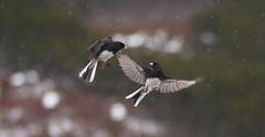 apr7 2018 13 (Delena Jane) Tags: delenajane dfo junco snowbird inflight macro 100mm newfoundland ngc canada pentaxart