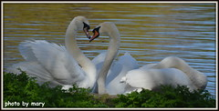 Two's company Three's a crowd (maryimackins) Tags: swans st james park london wildlife mary mackins spring