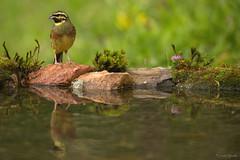 ESCRIBANO SOTEÑO (Carlos Cifuentes) Tags: escribanosoteño escribentaliñaceira cirlbunting emberizacirlus carloscifuentes wildlife wildlifenature nature bird birds