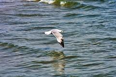 Low glide (thomasgorman1) Tags: seabird gull seagull glide flying shore beach sea ocean nikon baja mx mexico wildlife reflection
