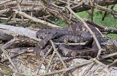 Northern Water Snakes (Nerodia sipedon) (monon738) Tags: northernwatersnake watersnake snake nerodiasipedon nerodia colubridae serpentes reptile herps indiana lagrangecounty pentax k3 300mm nature wildlife closeup smcpda300mmf40edifsdm