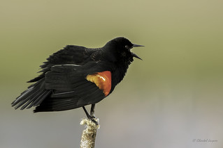The best audition - Singing Red-winged Blackbird