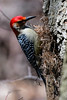 Forest Park: Red-bellied Woodpecker (donna lynn) Tags: 2018 april birds forestpark waterhole birding nature wildlife outdoors nyc newyorkcity queens woodpecker melanerpescarolinus orderpiciformes familypicidae