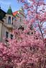 Pink Pretties (laurakirkpatrick) Tags: cherryblossom cherryblossoms pink blossom flower flowers plumblossom plumblossoms fleur ngc nature outdoor plant prague