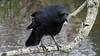 Corneille d'Amérique, 12 avril 2018  -----------------------  American Crow - Corvus brachyrhynchos (lacostejm) Tags: corneilledamérique americancrow corvusbrachyrhynchos zoneimportantespourlaconservationdesoiseaux refugedoiseauxmigrateurs rom zicoqc128 zico zicoquébec refuged'oiseauxmigrateurs refugedoiseauxmigrateursdelîleauxhérons fleuvestlaurent rapidesdelachine secteurdoiseauxmigrateurs lasalle migrationbirdsanctury naturequébec migratorybirdsconventionact loide1994surlaconventionconcernantlesoiseauxmigrateurs lanatureenville héritagelaurentien amisduparcdesrapides verdun bergesdustlaurent lefleuvesaintlaurentungéantfragile découverte humanima
