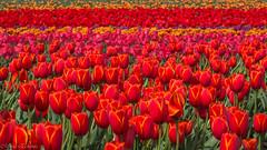 Rainbow (Maria Echaniz) Tags: tulipfestivalwoodburn woodenshoetulipfarm woodburn oregon rainbow colors colorful tulips tulipanes spring usa