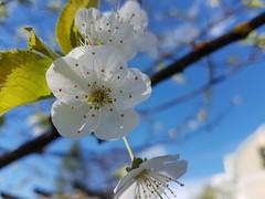 Springtime (Martin Siegel) Tags: spring frühling linz upperaustria kirschblüte samsunggalaxy nature natur garden jardin giardino garten wildkirsche prunusavium
