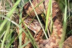 Adder (roger_forster) Tags: adder viper viperaberus browndown gosport leeonthesolent hampshire reptile snake wild venomous