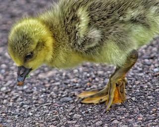 Adventurous duckling!���