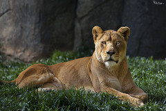 Sexy Beast (Karnevil) Tags: usa nc northcarolina asheboro asheborozoo zoo northcarolinazoo nczoo africaexhibit africaregion africaarea lion lioness mammal pantheraleo felidae bigcat cat zoom zoomlens 400mm nikon d610 petekreps