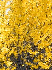 If you like the colour yellow........ (Bennydorm) Tags: jolie bonito colores colori farben couleurs giallo gelb jaune cheerful bright inghilterra inglaterra angleterre europe uk gb britain england furness ulverston april jardin gardens shrub bush yellow lovely spring pretty colours colour