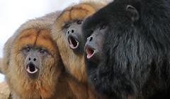 black howlermonkey Apenheul BB2A1319 (j.a.kok) Tags: aap monkey howlermonkey apenheul primaat primate animal zoogdier dier zuidamerika southamerica blackhowlermonkey zwartebrulaap brulaap