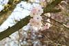 Cherry blossom Ichiyo at Brogdale (dyvroeth) Tags: cherry blossom ichiyo hanami faversham kent unitedkingdom gbr
