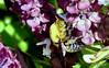 DSC_0407 (RachidH) Tags: bee bumblebee flowers blossoms blooms siwa oasis siwaoasis egypt rachidh nature carpenterbee carpenter xylocopa basilblossoms basil basilic fleursdebasilic
