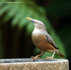 IMG_2385 Chestnut-tailed Starling (Sturnus malabaricus) (vlupadya) Tags: greatnature animal aves fauna indianbirds chestnittailed starling sturnus kundapuea karnataka