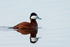 Ruddy Duck-48438.jpg (Mully410 * Images) Tags: avian duck birding coonrapidsdam ruddyduck bird birds birder birdwatching fowl waterfowl mississippinationalriverrecreationarea nationalpark