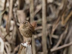 9Q6A9652 (2) (Alinbidford) Tags: alancurtis alinbidford brandonmarsh nature wildbirds wildlife wren