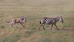 Mother Zebra with Colt (ashockenberry) Tags: zebra horse colt nature naturephotography wildlife wildlifephotography wild wilderness africa african stripes equine travel tourism eco habitat natural beauty tanzania savanna grassland safari animal