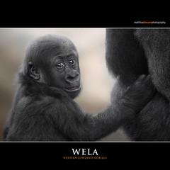 WELA (Matthias Besant) Tags: affe affen affenblick affenfell animal animals ape apes fell hominidae hominoidea mammal mammals menschenaffen menschenartig menschenartige monkey monkeys primat primaten saeugetier saeugetiere tier tiere trockennasenaffe primates querformat gorilla baby zoo zoofrankfurt matthiasbesant wela hessen deutschland