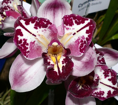 the 2018 pacific orchid exposition: Cymbidium American Beauty peloric hybrid orchid 2-18 (nolehace) Tags: cymbidium american beauty peloric hybrid orchid 218 flower bloom plant winter nolehace sanfrancisco fz1000 sfos poe pacificorchidexposition pacific exposition 2018 goldengatepark