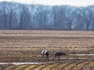 IMGPJ32674_Fk - Jackson County Indiana - Migratory Birds - Ewing Bottoms - Sandhill Cranes