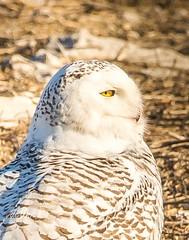 So soft . . . (Dr. Farnsworth) Tags: bird owl snowyowl feathers down flight fluff warm blooded soft muskegon mi michigan winter march2018