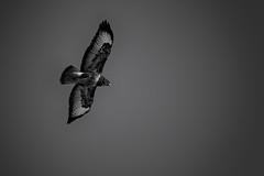 Common Buzzard (Buteo buteo) (NaturaRAW) Tags: animal bird blackwhite buteobuteo canonef100400mmf4556lisusm canoneos7dmarkii commonbuzzard monochrome nature wildbird wildlife