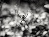 Descanso. (Livia Feitosa) Tags: aranha teia natureza jardim pretoebranco nikkorlens nikkor nikond7100 d7100 50mm blackandwhite spider garden botanicalgarden aracnídeo naturebeauty wildlifenature natureview