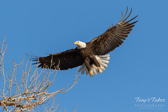 Female Bald Eagle returns to the nest - 10 of 29