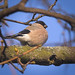 Mrs Bullfinch