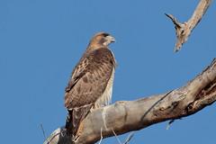 Confront your demons (Hammerchewer) Tags: redtailedhawk bird raptor wildlife outdoor