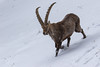 4R3A4439 (Thomas 2312) Tags: tiere winter hohe wand steinbock