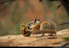 20160822_27 Chipmunk (Neotamias sp.?) gnawing on pine cone | Arches National Park, Utah (ratexla) Tags: ratexlasgreentortoisetrip2016 ratexlascanyonsofthewesttrip2016 nonhumananimals greentortoise canyonsofthewest 22aug2016 2016 canonpowershotsx50hs archesnationalpark utah usa theus unitedstates theunitedstates america northamerica nordamerika earth tellus photophotospicturepicturesimageimagesfotofotonbildbilder wanderlust travel travelling traveling journey vacation holiday semester resaresor ontheroad hiking hike sommar summer beautiful nature life organism nonhumananimal animal animals djur cute cool wild wildlife vild vilda biology zoology chipmunk chipmunks neotamiassp neotamias eating feeding omnomnom ratexla unlimitedphotos almostanything favorite