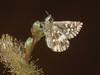 Pyrgus malvae - Grizzled skipper - Толстоголовка малая мальвовая (Cossus) Tags: hesperiidae pyrginae pyrgus 2008 анциферово толстоголовка skipper