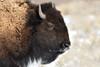 Bison Portrait (adbecks) Tags: bison yellowstone snow nikon d500 200500