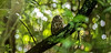 Ruru 11 (Black Stallion Photography) Tags: ruru morepork newzealand owl bird wildlife nzbirds prey perch branch brown white feathers green foliage yellow eyes native bush black stallion photography igallopfree