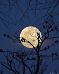 The moon is a loyal companion. (gusdiaz) Tags: photoshop photomanipulation composite composition nature natrurephotography canon canonphotography moon luna sky branches trees birds aves arboles forest bosque night noche beautiful hermoso