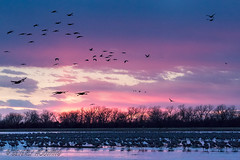 Sandhill_Cranes-62 (Beverly Houwing) Tags: nebraska sandhillcranes plattriver migration spring birds conservation cranetrust sanctuary protected flying sihouette clouds sky sunset standing refelction flock crowded sandbar shallowwater dusk pink unitedstates midwest