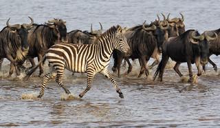 Zebra On The Fast Lane