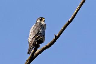 Peregrine Falcon ( Falco peregrinus)