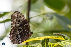 Blijdorp Rotterdam Zoo_Blue Morpho Butterfly.jpg (sattarmughal) Tags: rotterdamzoo rotterdam birdsphotography netherlands familyouting blijdorpzoo